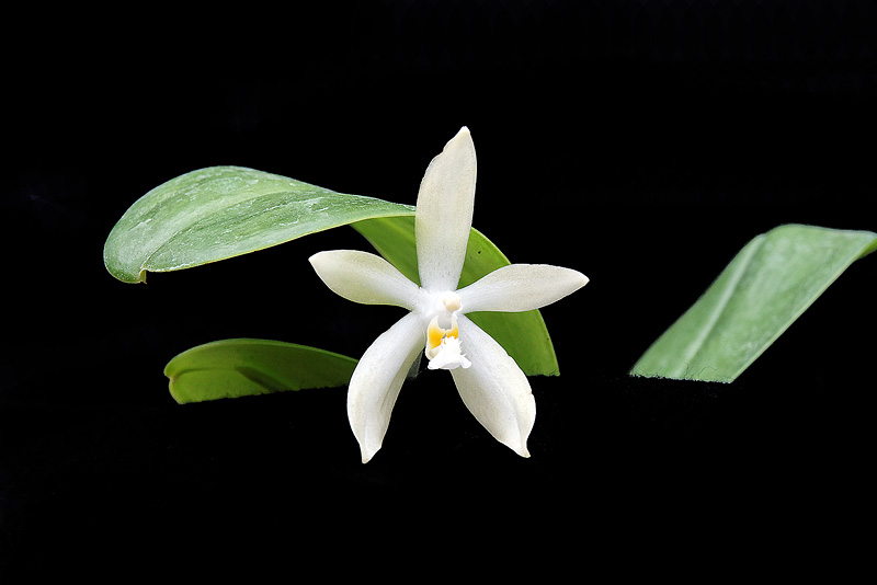 Phalaenopsis pallens var. alba