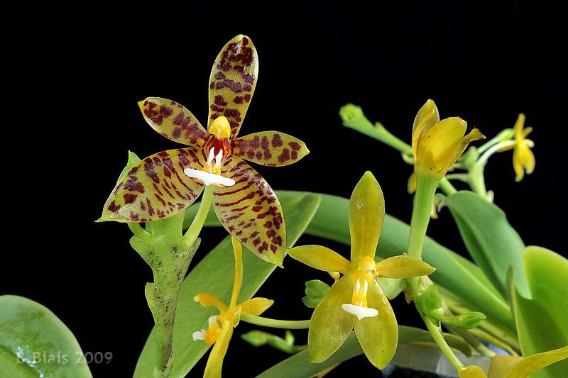 Phalaenopsis cornu-cervi org. Bornéo