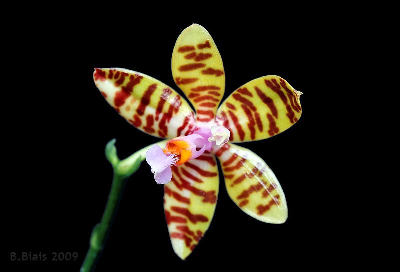 Phalaenopsis reichenbachiana (x fasciata ?)