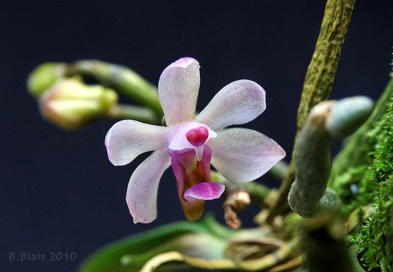 Phalaenopsis taenialis