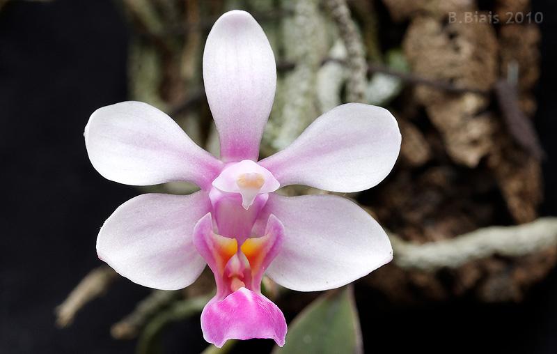 Phalaenopsis wilsonii