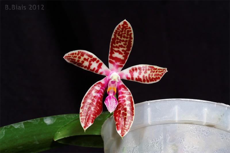 Phalaenopsis corningiana