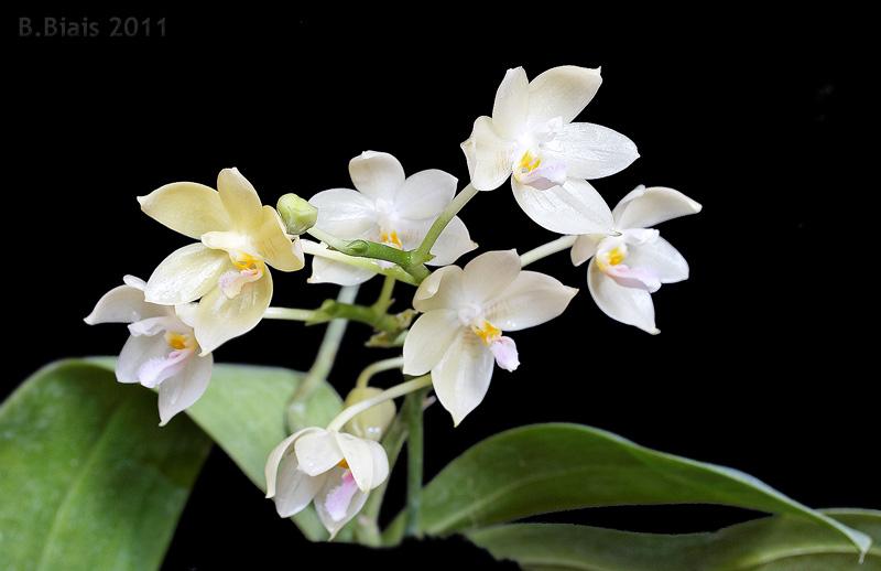 Phalaenopsis floresensis