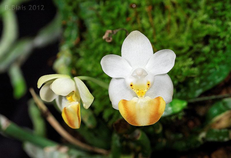 Phalaenopsis lobbii var flava