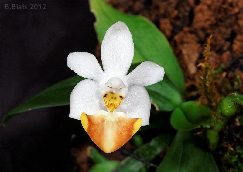 Phalaenopsis lobbii var. flava