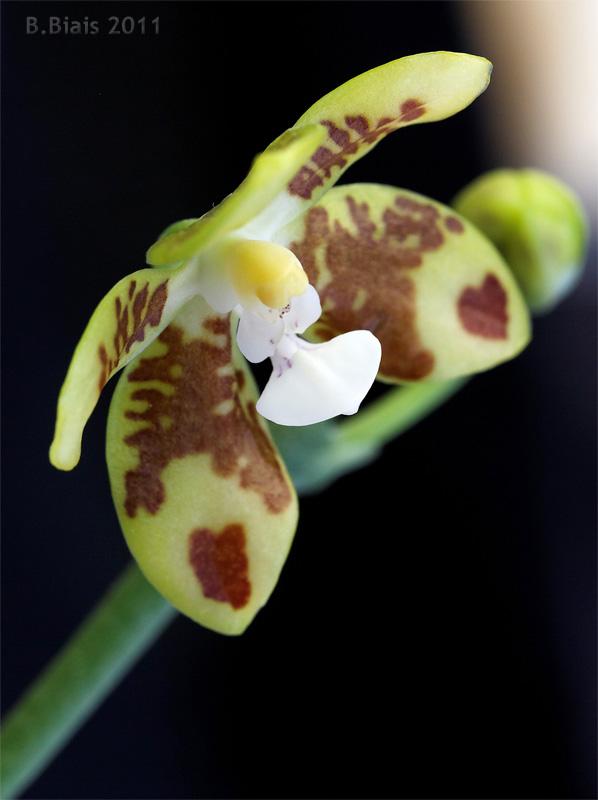 Phalaenopsis viridis