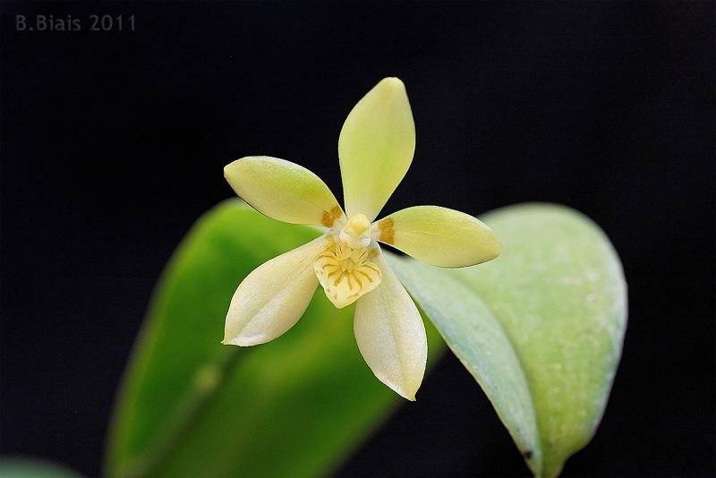 Phalaenopsis cochlearis