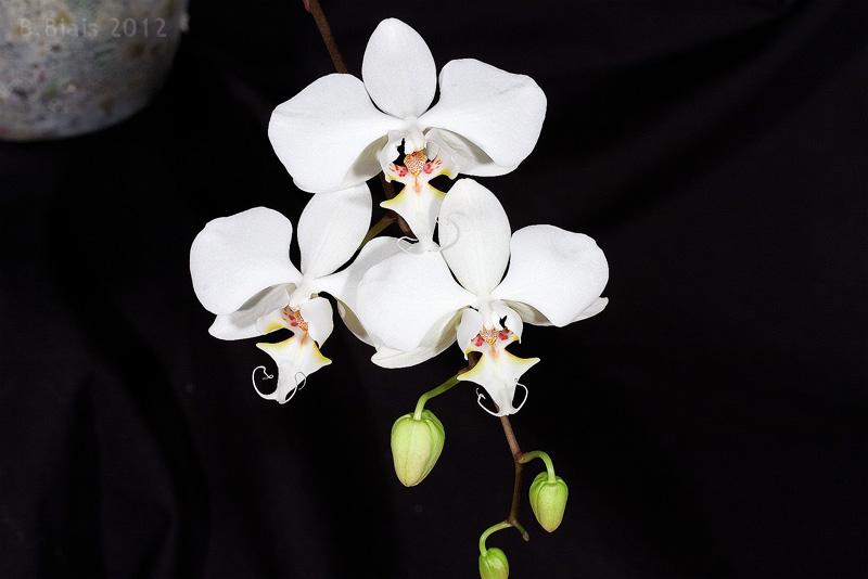 Phalaenopsis sanderiana