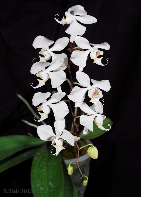 Phalaenopsis sanderiana var. alba