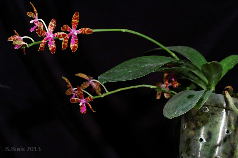 Phalaenopsis bastianii 'Yellow'