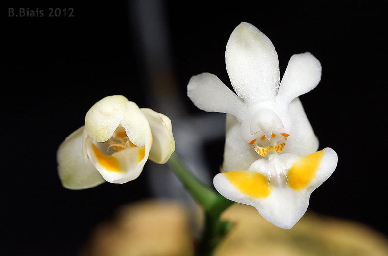 Phalaenopsis thailandica