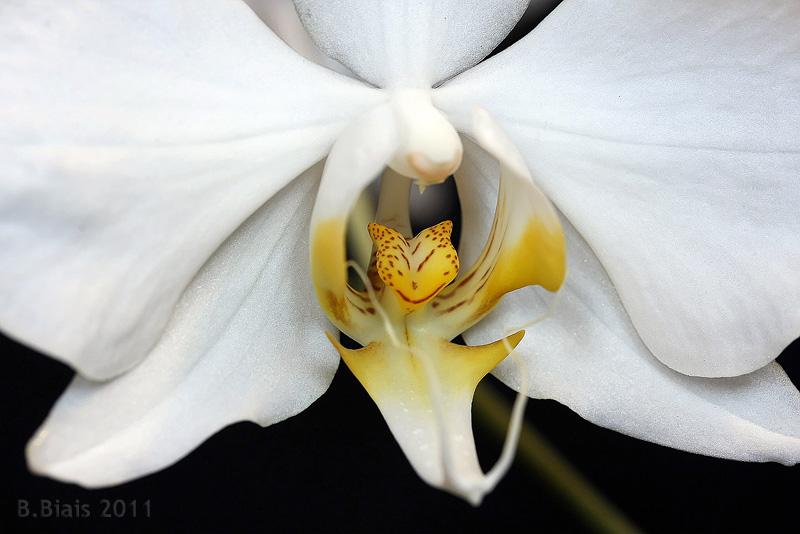 Phalaenopsis amabilis var papuana