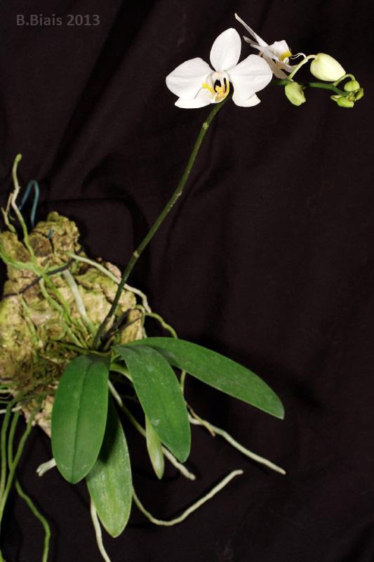 Phalaenopsis amabilis var. papuana