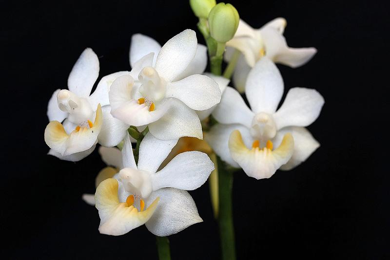 Phalaenopsis regneriana var. aurea