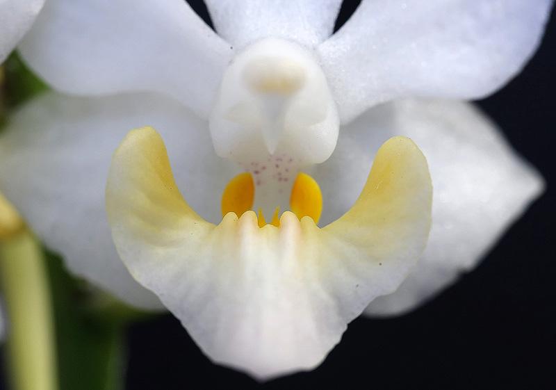 Phalaenopsis regneriana var. aurea - callus bifide caract�ristique
