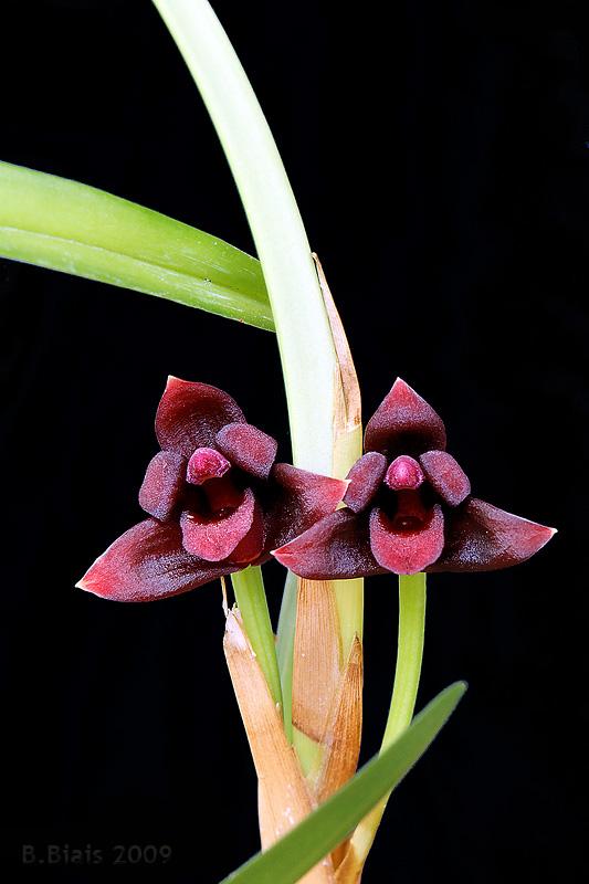 Maxillaria variabilis var. rouge