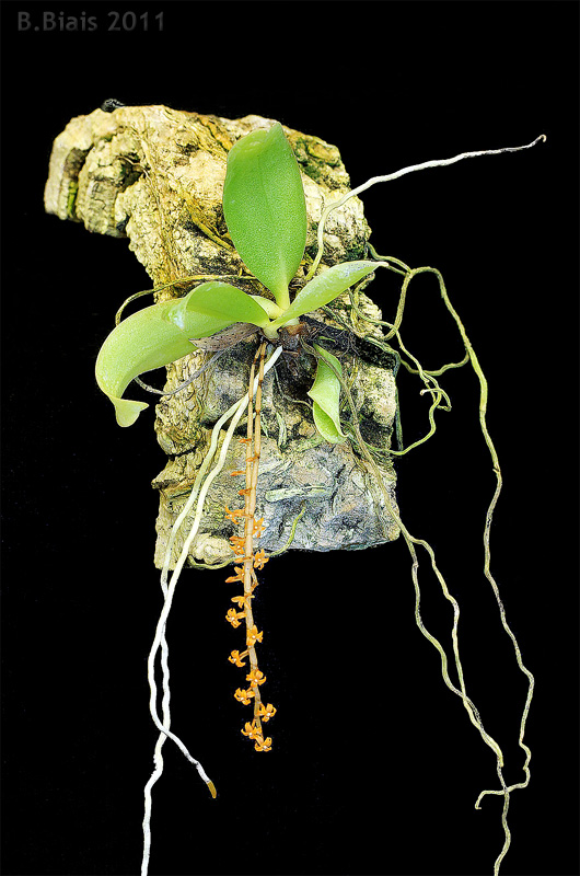 Microterangis hariotiana
