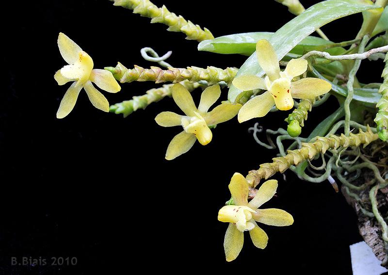 Thrixspermum hystrix