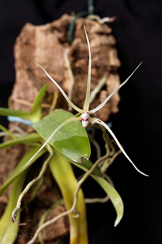 Thrixspermum leucarachne