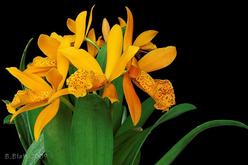 Brasso-Laelio-Cattleya Golden Mul 'Orient'