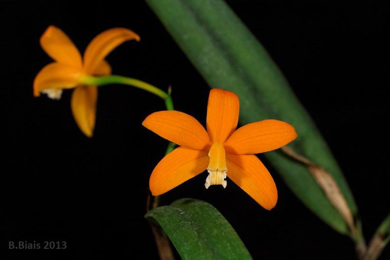 Laelia harpophylla (ou kautskyana ou harpophylla x kautskyana)