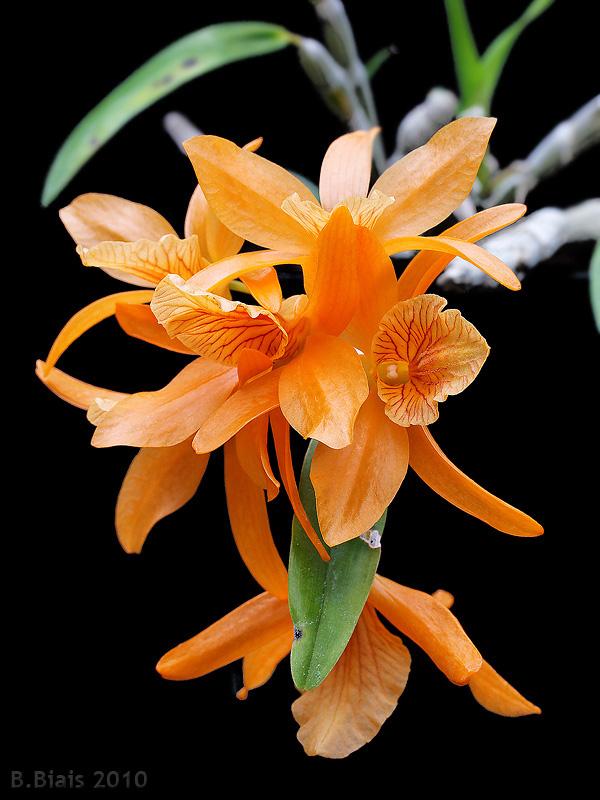 Dendrobium Stardust