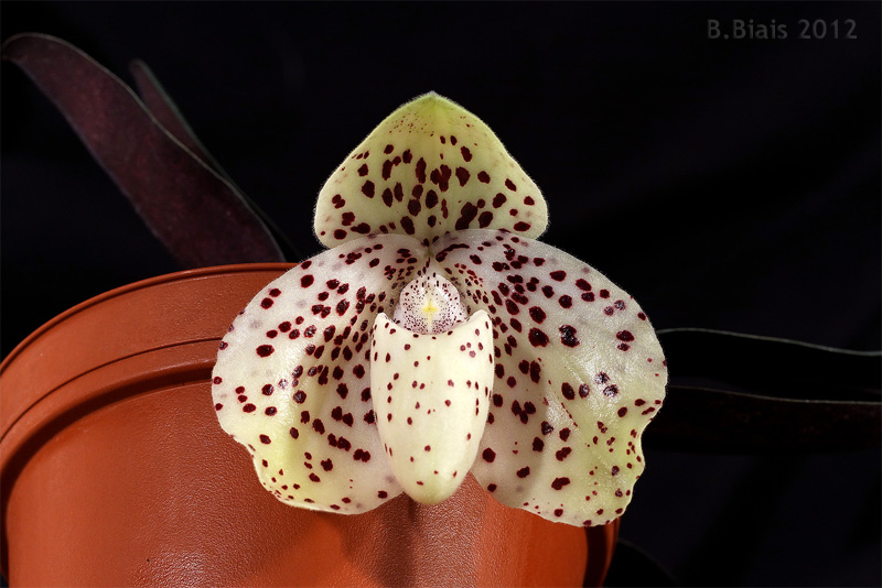 Paphio bellatulum